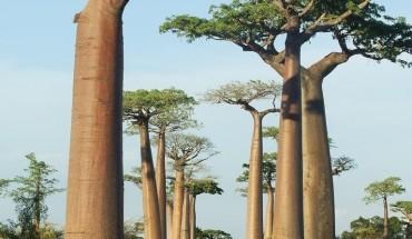 Hàng bao báp khổng lồ tại Madagasca. Ảnh:  triggerpit